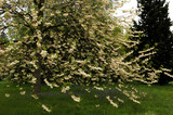 Snowdrop tree, Halesia monticola - the mountain snowdrop tree, at Emmetts Garden, Sevenoaks, Kent