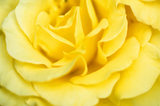 The golden yellow petals of the hybrid tea rose 'Pot o' Gold' shown in great detail