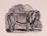 Engraving, THE LION, by Thomas Bewick, 1753-1828, one of a series of large cuts, 1799-1800,for Gilbert Pidcock, proprietor of a travelling menagerie