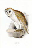 BIRDS OF EUROPE - BARN OWL (Strix flammea) by John Gould, London 1837, from the Library at Blickling Hall