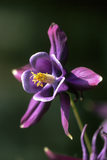 A flower of an Aquilegia - McKanna Trailing Long-Spurred Hybrid, blooming in June, in the Garden of Sissinghurst Castle