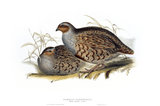 BIRDS OF EUROPE - COMMON PARTRIDGE (Perdix cinerea) by John Gould, London 1837, from the Library at Blickling Hall