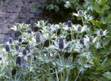 Close view of sea holly, Eryngium, in the East Walled garden at Llanerchaeron