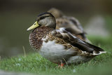 A close up of a mallard duck at Lyme Park
