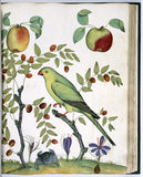 17th Century Italian drawing of birds, after Aldrovandi, at Ickworth