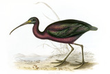 BIRDS OF EUROPE - GLOSSY IBIS (Plegadis falcinellus) by John Gould, London 1837, from the Library at Blickling Hall
