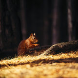A red squirrel at Formby sitting by a trunk in the woodland eating a nut