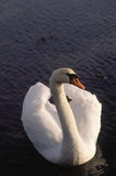 A white Mute swan on Strangford Lough with light on its wings