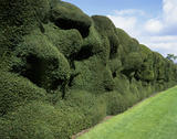 The clipped Yew hedge, by the Cedar Lawn at Montacute House