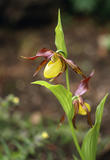 Lady's- slipper orchid, Cypripedium calceolus, in the Rock Garden at Sizergh Castle, Cumbria
