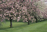 A row of cherry trees with pink and white blossom on the slope in the Cherry Garden at Upton House in May