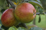 A view of two Herefordshire Costard Apples, part of the old apple varieties pictured at Berrington Hall