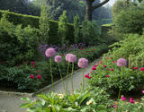 An earth path between borders of Peonia mutabilis plena, Allium rosenbachianum and Allium aflatunense