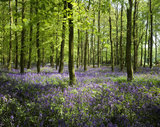 Bluebells carpeting the forest floor in Dockey Wood with sun streaming through the trees