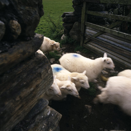 Welsh Mountain sheep herding through a dry stone wall gate