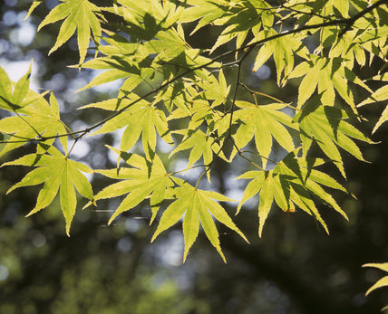 The sun shining through Maple leaves in the Japanese Garden at Tatton Park, which was planted in one of the dells of the garden by the 3rd Lord Egerton under supervision of a Japanese Gardener