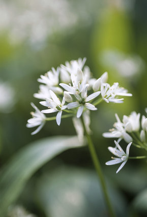 Close up of wild garlic, Allium ursinum, or Ramsons, growing in Prior Park