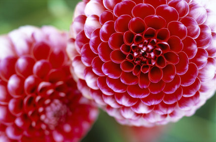 A close up of the pom pom type Dahlia 'Little William' in the Dahlia Walk at Cragside