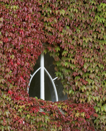 A close up of the Chapel Gallery wall at Saltram, with Virginia Creeper climbing around a small triangular window