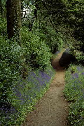 Path leading through wooded gardens at Glendurgan with bluebells