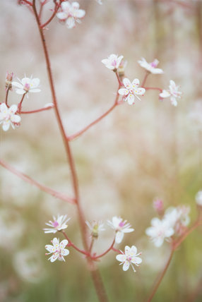 A portrait of pretty delicate pink and white flowers at Colby Woodland Garden