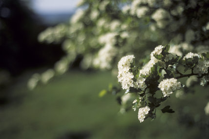 Close view of Hawthorn blossom, Crataegus Monogyna, or May-tree, in Prior Park