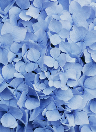 Close-up of a blue Hydrangea flower in Hinton Ampner garden