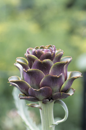 Close-up of the flower-head of an artichoke at Beningbrough Hall