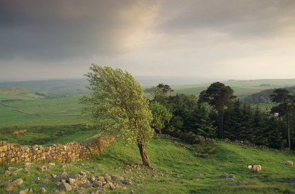 Tree bent by the wind alongside Hadrian's Wall at Hotbank near Housesteads, Northumberland
