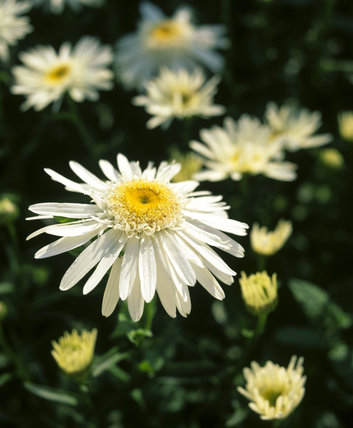 A close-up detail of a daisy - Leucanthemum Maximum 'Wirral Supreme' at Mottisfont Abbey