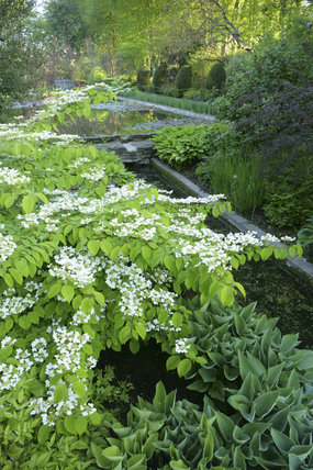 White flowers of Viburnum plicatum by the Lily Pond at The Courts Garden, Wiltshire, UK created in the early C20th in the Hidcote tradition