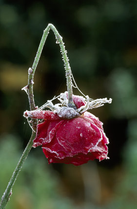 Limp pink Rosebud after November frost, Scotney Castle