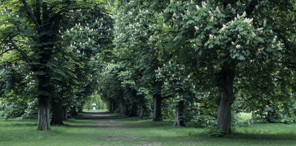 Cross Avenue with Horse Chestnut trees in full bloom at Anglesey Abbey