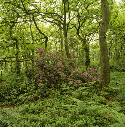 Ferns and Rhododendrons growing around the bases of Oak and other trees forming an inter-woven canopy of branches on part of Ludshott Common providing a habitat for much wild life