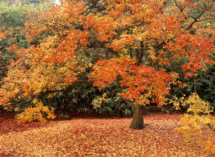 An Elkianthus campanulatus in its gold and red foliage of Autumn at Sheffield Park, where some of its leaves have already fallen