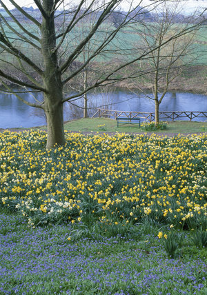 Patch of Cionodoxa in foreground with bank of daffodils sloping down to garden bench and the River Wye in The Weir garden