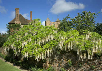 A prolific white Wisteria, floribunda 'Alba', flowing over the moat wall in June at Sissinghurst