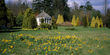 Wide view of narcissi growing in the meadow at Nymans with the summerhouse in the background