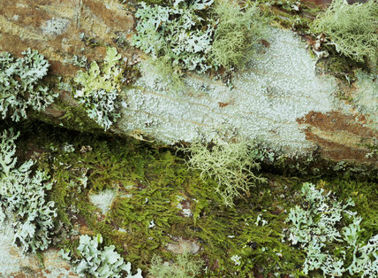 Close Shot of mixed lichens and moss on trunk of Acer 'Shirasawanum Aureum' at Castle Drogo