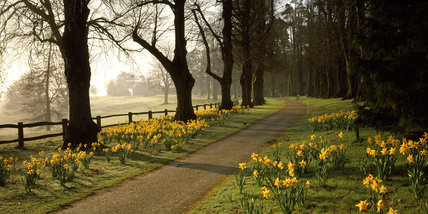 The Lime Avenue at Dawn with border of dark golden daffodils in the early sunlight at Nymans Gardens