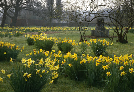 The Orchard daffodils with the Greek Altar in the background at Sissinghurst Castle Garden