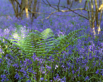 A ground level view of the bluebell wood on Long Walk at Hatchlands, with a vibrant spray of fresh green bracken at its centre catching sunlight through the trees