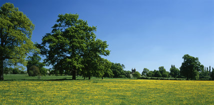 Distant view of the Tower at Sissinghurst, visible across a buttercup meadow