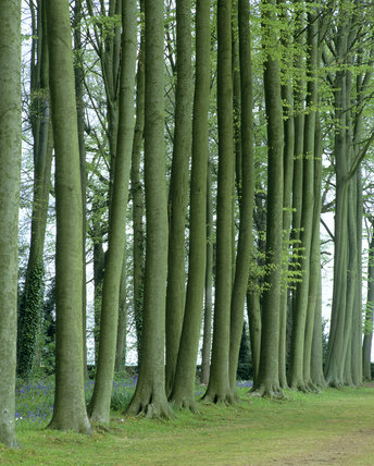A view along the Beech Avenue at Hidcote Manor Garden