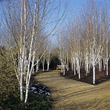 Winter Walk 2004 at Anglesey Abbey showing a cluster of Silver Birches - Betula utilis var