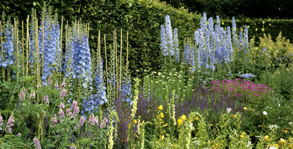Part of the herbaceous border at Anglesey Abbey with Delphinium (Ranunculaceae) 'Pericles' & 'Lady Cynthia', Digitalis (Scrophulariaceae) lanata & Salvia (Labiatae) haematodes