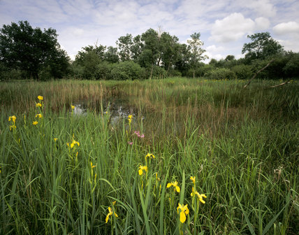 Yellow Flag [irises] together with other flora at Wicken Fen, Cambridgeshire