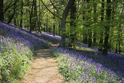 Pathway running through the Bluebell Wood at Emmetts Garden
