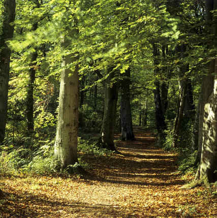 A Leaf Covered Path Through Leigh Woods With Trees In Full