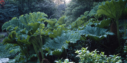 Closeup of gunnera manicata in the garden of Coleton Fishacre